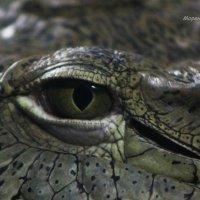 глаз крокодила :: Александр Моренков