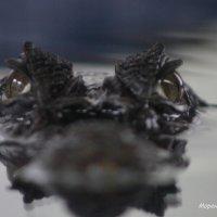 крокодил :: Александр Моренков