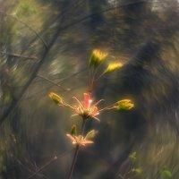 Аленький цветочек :: Игорь Калинкин