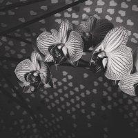 орхидея :: Виктория