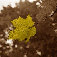 Жёлтый лист кленовый. :: Яков Реймер