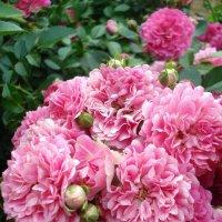 Розы :: Александра Фокина