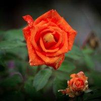 Роза :: Надежда Полякова