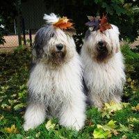 Осенние бобики :: Лариса Батурова