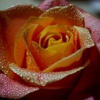 Роза :: Валерия Стегно