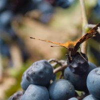 поедание винограда :: андрей морозов