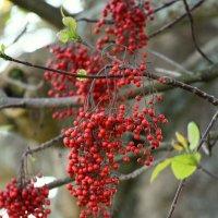 красные гроздья :: Natalya секрет
