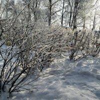 Морозной зимой среди мягкого снега..... :: Наталия Павлова