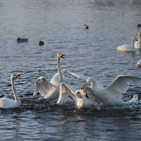 Скандал на озере Светлое. :: Елена Савчук