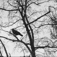 Зимняя ворона :: Юрий Васильев