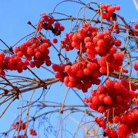 Зимние ягоды :: Влад Платов