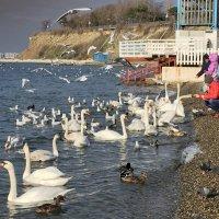 Лебеди в Анапе :: ИРЭН@ .