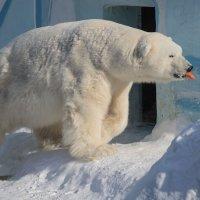 Праздник полярного медведя. :: аркадий