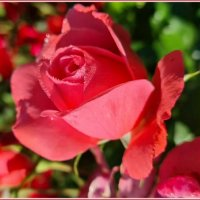 Утренняя роза... :: Лариса Масалкова