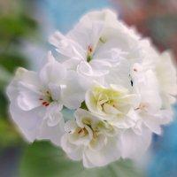Цветёт белая герань... :: Лилия *