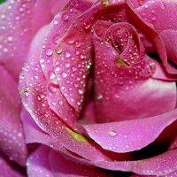 Сердце розы :: Елена Даньшина