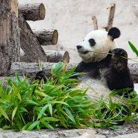 Панда Московского зоопарка :: Вероника Куницына