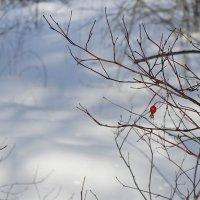 Шиповник зимой :: Зинаида Каширина