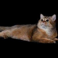 Коты тоже любят фотосессии. :: Владимир Куликов