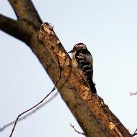 Дятел в парке на дереве. :: Alex Sash