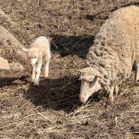 Овечка - дочь, овечка - мама... :: Любовь С.