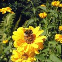 Солнечные цветы :: Геннадий Худолеев
