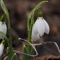 Весны цветы :: Александр Резуненко