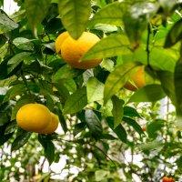 фруктовый сад :: Константин Шабалин
