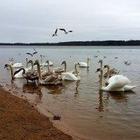 Лебеди :: Artur Pauris