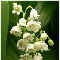 Ландыш, словно символ Божьей благодати..... :: Tatiana Markova