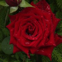 Роза в каплях дождя :: Екатерина Фетисова