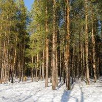 В апрельском северном лесу,Ухта,Республика Коми,солнечно,снежно, непонятно,какой будет весна дальше) :: Николай Зиновьев