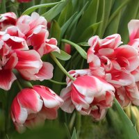 Лале, тюльпаны :: ZNatasha -