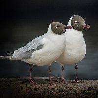 Из жизни птиц (2) :: Александр