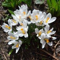 Вот какой случился фокус,в саду на солнцепёке,расцвёл крокус. :: zoja