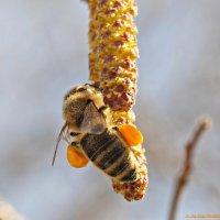 Набить пыльцою свежей сумки до отвала! :-) :: Андрей Заломленков