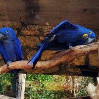 гиацинтовые ара и как они относятся к фотографам :: Александр Корчемный