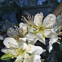 Был снег и дождь, но, деревья всё равно цветут ... :: Татьяна