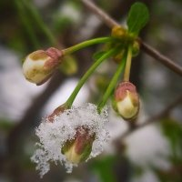 Цветок в снегу :: Хэлен ***
