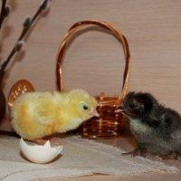 Новорожденные цыплята :: Нэля Лысенко