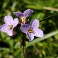 Серде́чник лугово́й (лат. Cardámine praténsis) :: Heinz Thorns