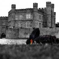 Чёрный лебедь :: Валерий Пшеницын