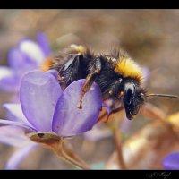 Про весну и про шмеля..... :: Елена Kазак