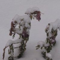 Цветы под снегом :: Ольга Иргит