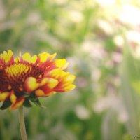 Цветок на рассвете :: Валерия Photo