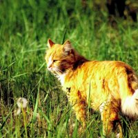 рыжий кот :: Анна Кухарь