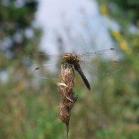 Odonata :: Светлана Былинович