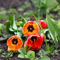 Тюльпаны :: Alexandr Grishin