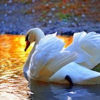 Лебедь :: Анна Чернобай