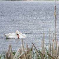 ...а белый лебедь на пруду... :: Светлана Макурина
